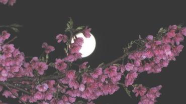 110217_cherry_moon_4